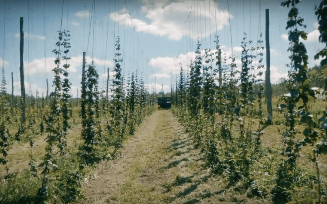 Farm to Pint: Harvesting Hops on the 42nd Parallel